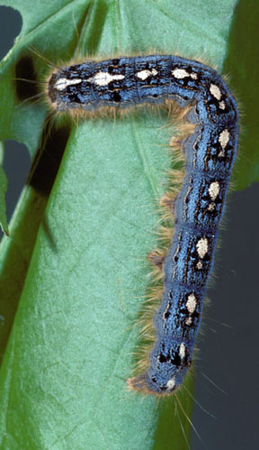 Forest tent caterpillar.