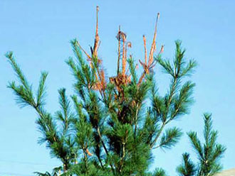 White pine weevil damage