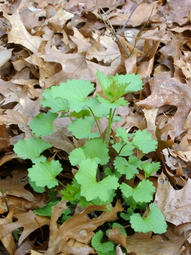 Garlic mustard (close-up) just before bloom.