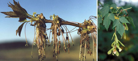 (Left) The flowers of a boxelder tree. (Right) The leaves and seeds of a boxelder tree.