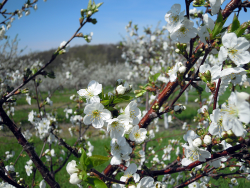 Cherries blooming