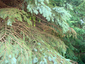 Needle loss, dead branches, and browning foliage in Colorado blue spruce.