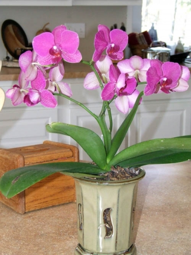 Repot orchids for encore bloom performance - MSU Extension