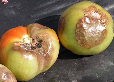 Tomatoes with late blight