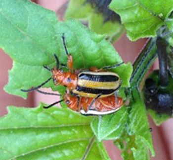 3-lined potato beetles