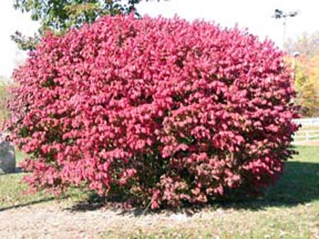 Compact Burningbush grown for its fall color.
