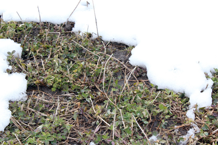 Snow-covered alfalfa crowns.