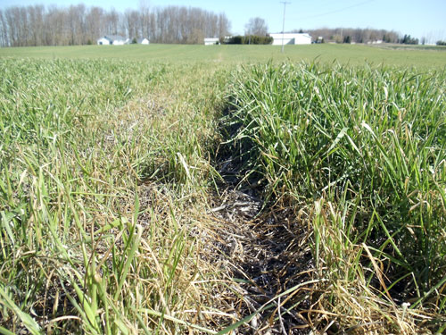 Freeze-injured wheat in layer of chaff