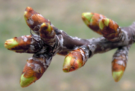 Montmorency tart cherry buds at green tip.