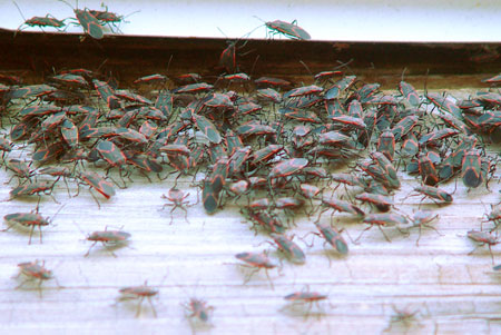 Large congregation of boxelder bugs