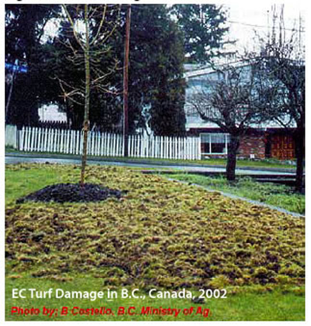 European chafer turf damage in B.C., Canada, 2002.
