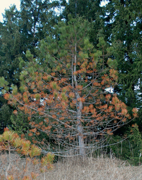 Austrian pine along the roadside with Dothistroma needle blight.