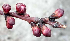 The red calyx of apricot flower buds will soon open to reveal the white petals.