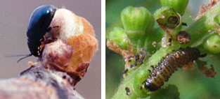 Flea beetle adult (left) and larva (right).