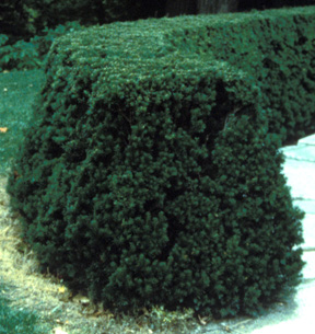 When pruning a hedge, as in this yew, be sure to allow the bottom to be wider than the top.