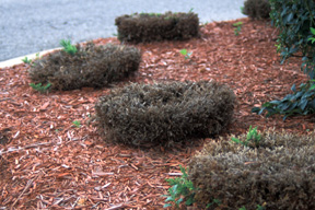 Because junipers need their new shoots for continued growth, hedging these shrubs will end in failure.