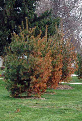 Deicing salt injury is a common occurrence on white pine near major roadways in Michigan.