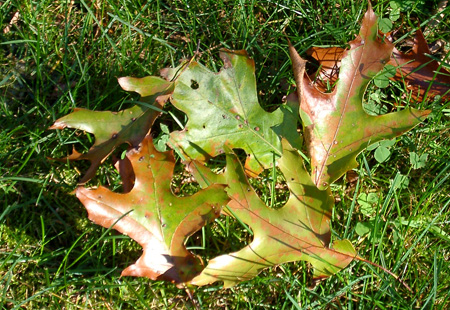 Fallen leaves of the oak wilt infected tree.