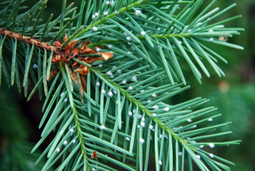 Cottony masses Cooley on Douglas-fir