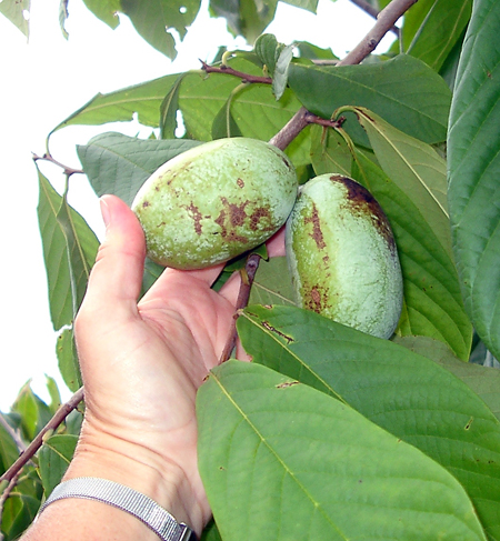 Edible fruit of Paw Paw.