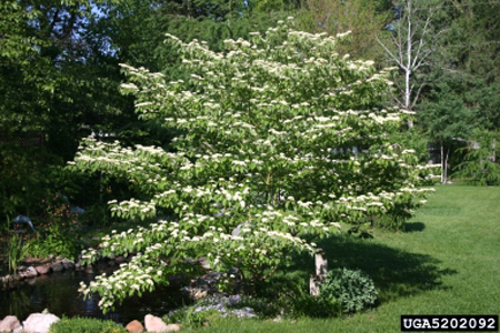 Alternate-leaved dogwood in May.