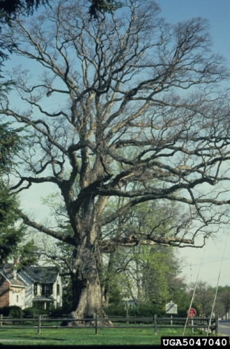 Stately, mature white oak in early spring.