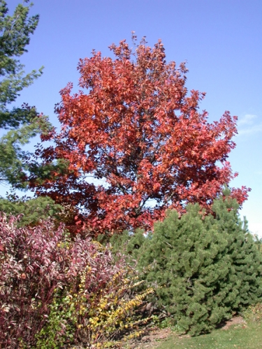 Red oak displaying beautiful red fall color.