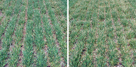 Left, wheat injury when Affinity BroadSpec (0.75 oz/A) + NIS (0.25% v/v) was applied with 28% UAN (100%) as the spray carrier. Right, wheat injury when Huskie (11 fl oz/A) + NIS (0.25% v/v) was applied with 28% UAN (100%) as the spray carrier.