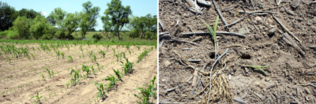 Left, patchy corn left after sandhill cranes damaged a field. Right, a close-up of sandhill crane damage.