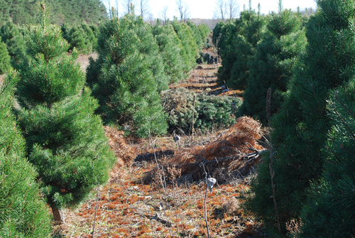 Culled Scotch pine trees