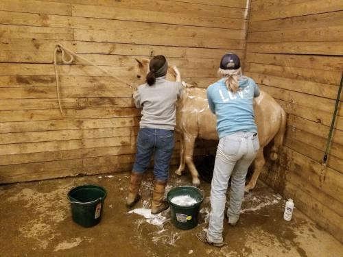 Body clipping horses - MSU Extension