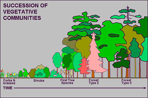 Model of forest's succession of vegetative communities
