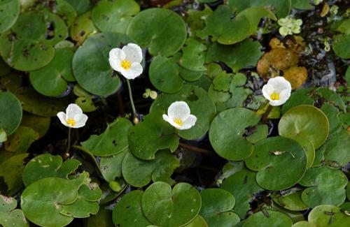 a picture of European frogbit that grows in thick mats in water