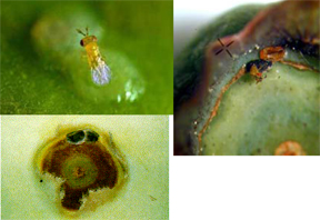 Egg parasitoids