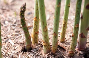 Asparagus spears with purple spot.