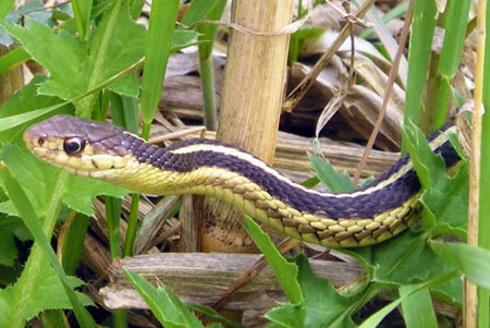 Snakes and your garden - MSU Extension