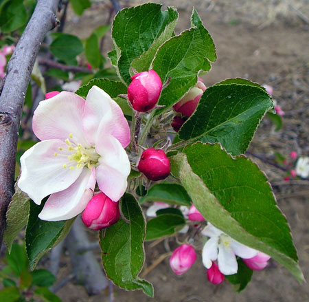 Assessing frost and freeze damage to flowers and buds of fruit ...