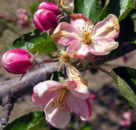 Apple flowers freeze damage