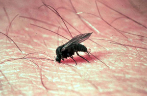 Blackflies are out and at it in southern Michigan - MSU