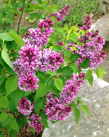 Pruning spring flowering shrubs msu extension michigan state university extension garden and landscape hotline from a frustrated person that has grown a couple of lilacs for five years each spring mightylinksfo