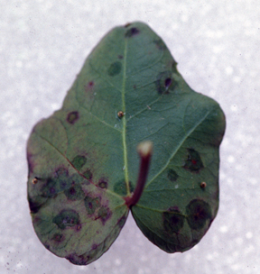 Bacterial leaf spot of ivy