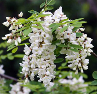 Black locust flower
