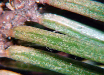 Spruce spider mite injury