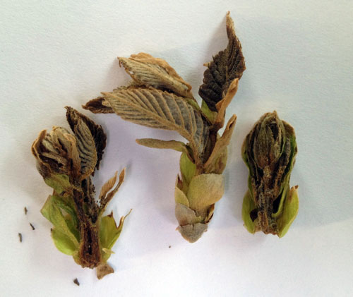 Dead colossal buds