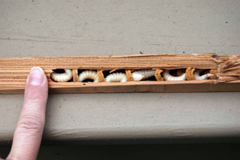 Adult Bees Bore Into Soft Wood Such As Cedar To Lay Eggs Which Hatch These White Larvae Note The Perfectly Round Hole Photo Credit Sandy Heng