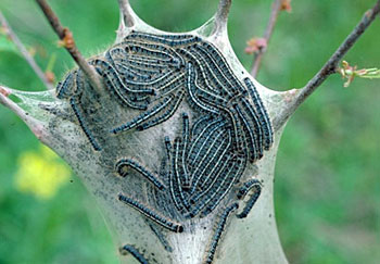 Tent made by eastern tent caterpillars. Photo credit Paula Shrewsberry UMD & Eastern tent caterpillar outbreaks patchy and localized | MSU ...
