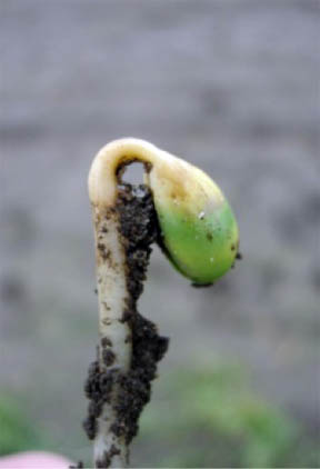 Diseased soybean seedling