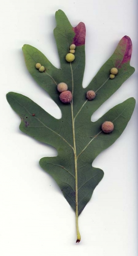 Galls on white oak formed by gall wasps.