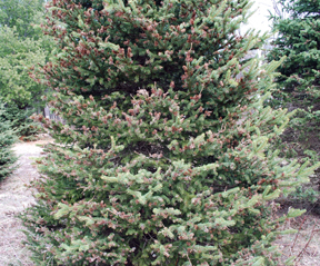 Spruce tree damaged by gall midge.