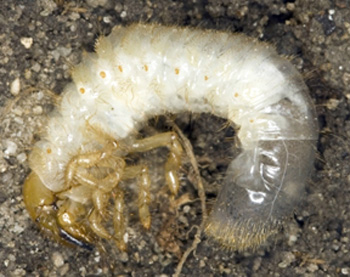 European chafer grub